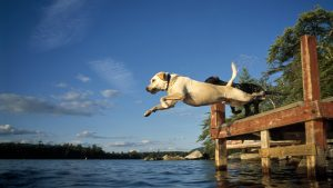 Plymouth, New Hampshire, USA --- Two dog jump off a dock into a lake, Plymouth, New Hampshire --- Image by © Nick Lambert/Aurora Open/Corbis